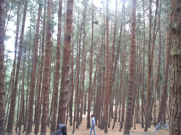 The lovely pine forest in Kodai.